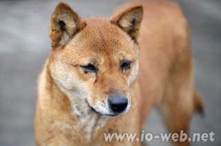 平壌動物園の珍島犬・ピョンファ(メス)